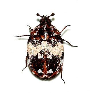Anthrenus pimpinellae pimpinellae (Fabricius, 1775)