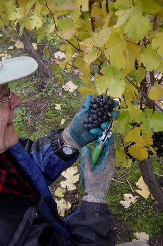Picking Oregon Pinot Noir grapes