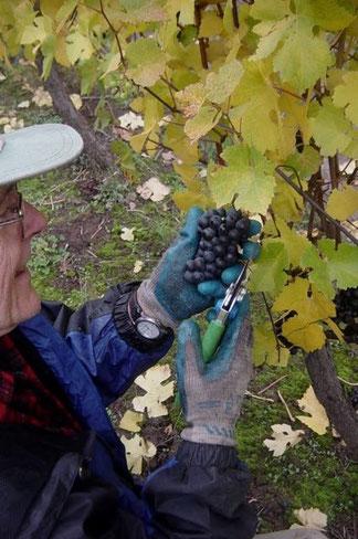 Picking Oregon Pinot Noir grapes