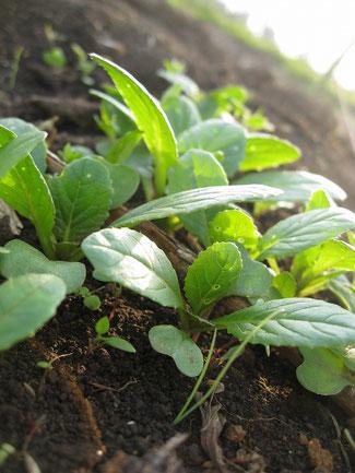 芽を出したばかりの菜っ葉の写真