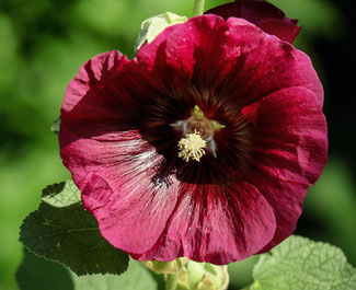Alcea rosea Rot & Rosa - Stockrosen in Rot - Englische Blumensaat bei www.the-golden-rabbit.de