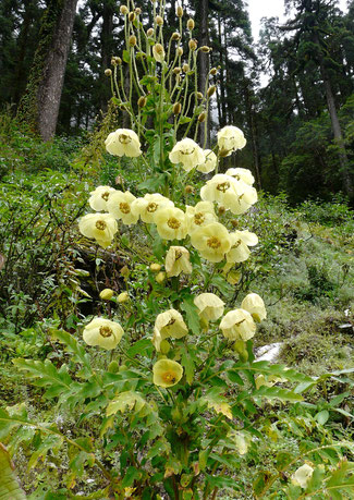Meconopsis paniculata bei www-the-golden-rabbit.de