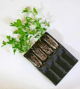 Deep Rootrainer -  aufklappbare Anzuchtkästen für Samen und Stecklinge