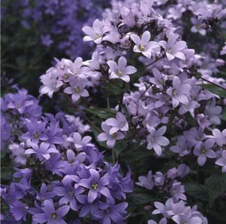 """Campanula Lactiflora """"Pritchard's Variety"""" - Dolden-Glockenblume - eine Auswahl an Glockenblumensaat finden Sie bei www.the-golden-rabbit.de"""