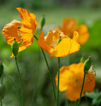 Meconopsis cambrica bei www-the-golden-rabbit.de