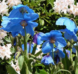 Meconopsis baileyi - Blauer Himalaya ScheinmohnEnglische Blumensaat bei www.the-golden-rabbit.de