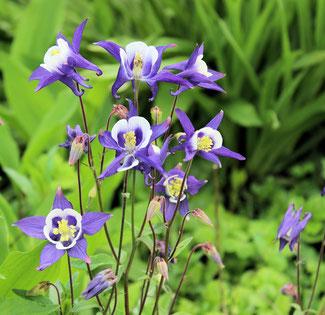 Akelei für den Bauerngarten - Die besten Blumensaaten aus England bei www.the-golden-rabbit.de