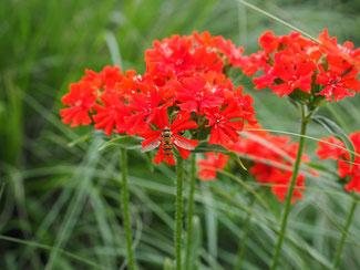 Rote Lichtnelke / Brennende Liebe / Lychnis chalcedonica - Englische Blumensaaten bei www.the-golden-rabbit.de