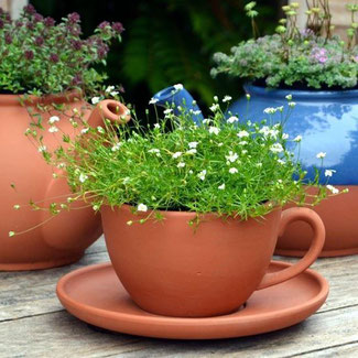 Englischer Tea-Cup Planter bei www.the-golden-rabbit.de