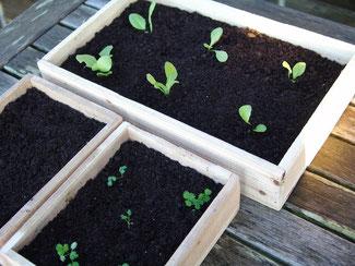 Kleine Saatkiste aus Kiefernholz mit Erde und Setzlingen darin