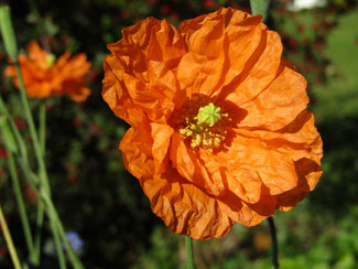 "Atlas-Mohn ""Orange Feathers"" bei www.the-golden-rabbit.de"