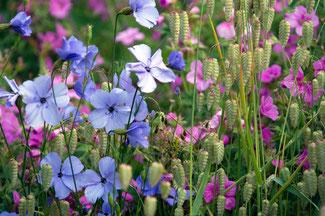 Englisches Saatgut aus dem wunderbaren Garten Great Dixter bei  www.the-golden-rabbit.de
