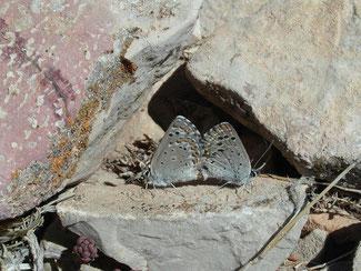 M. vogelii vogelii, in copula, Col du Zad, Moyen Atlas cenral, 2015, ©Frédérique Courtin-Tarrier)