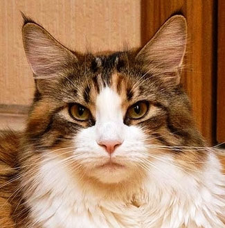 Мать - Lucky Chris maine coons*BY
