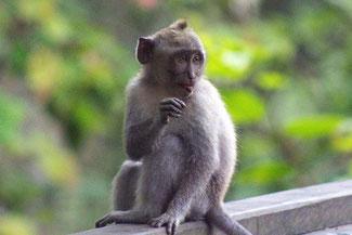 Einer von mehr als 700 Bewohnern des Affenwalds