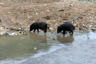 Freilebende Schweine - Nusa Penida
