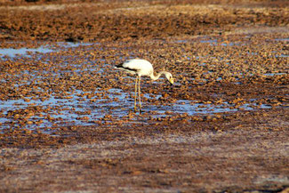 Flamingo, Atacama, Atacamawüste, Südamerika, Chile, Die Traumreiser