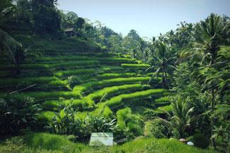 Die Reisterrassen in der Region Ubud