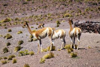 Lama, Alpaka, Atacama, Atacamawüste, Südamerika, Chile, Die Traumreiser