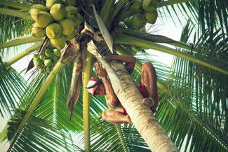 Mit bloßen Füßen auf die Kokospalme