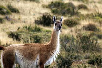 Guanako, Lama, Alpaka, Torres del Paine, Patagonien, Nationalpark, Chile, Die Traumreiser