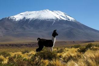 Chiles Norden, Alpaka, Lama, Guanaca, Vulkan, Atacama, Die Traumreiser