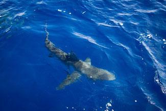Haie, Sharks, Käfigtauchen, Haitauchen, Oahu, Hawaii, USA, Strand, Die Traumreiser