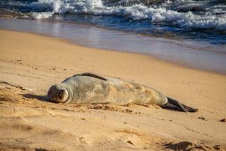 Poipu Beach Park, Kauai, Hawaii, USA, Die Traumreiser, Robbe, Mönchsrobbe, Monk Seal