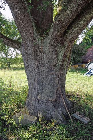 Birne am Königshof bei Deisendorf