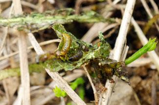 ウリハムシモドキの幼虫