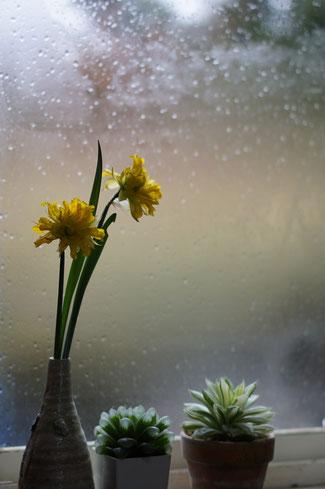 仲本律子 R工房 女性陶芸家 茨城県笠間市  ブログ 春の芽吹き 雨 水仙 ハオルチア・オブツーサ