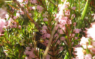 Abeja liba néctar de flores de brezo