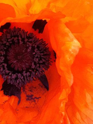 das Innere einer roten Mohnblüte, symbolisiert die Intimität