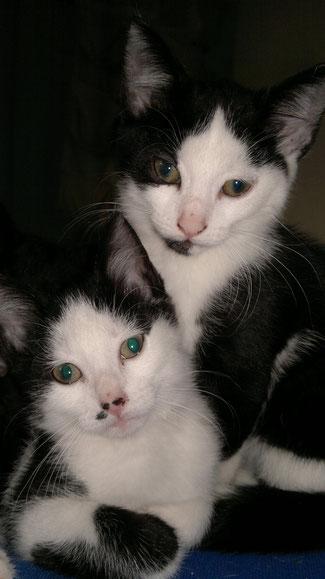 """Die ersten Kitten von Yuki hatten alle ein eher """"orientalisches"""" Aussehen"""