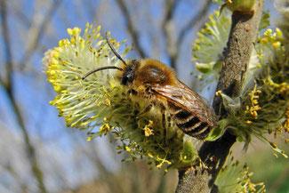 Die Seidenbiene Colletes cunicularius sammelt ausschließlich Weidenpollen. (http://www.naturspaziergang.de/Wildbienen/Colletinae/Colletes_cunicularius.htm)