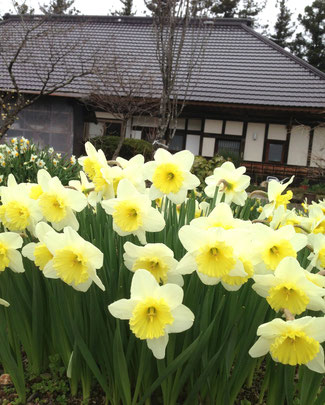 春の鳴子では…水仙も、見頃を迎えております^^たくさんかたまって咲いているので、とてもにぎやかです〜!冬の雪の下で春を待っていた植物たちが、「待ってました!」とばかりに一気に美しい花を咲かせて……長い長い冬のあとの、東北の春の喜びを、体現しているかのようです^^