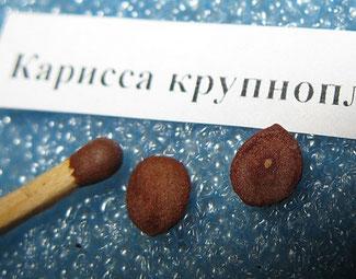 Карисса. Грунт универсальный, семена на 12-24 с стимуляторе, заглублять на 1 см, всходы с 14 дней.