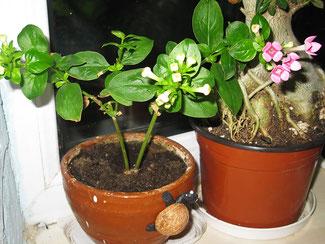 Распускаются цветки бувардии, растение ещё молодое, не кустистое,  но всё впереди