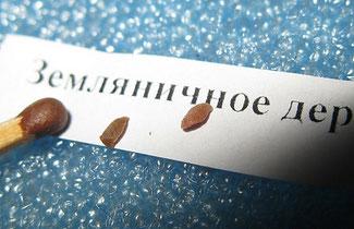 Арбутус, земляничное дерево. Грунт универсал.,семена слегка присыпать песком или грунтом, требуют стратификации в течение 60 дней при 19 — 24 °С.