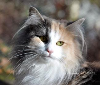 av jostedalsbreen, norwegische waldkatze bayern, norwegische waldkatze münchen, norwegische waldkatze züchter, Kitten