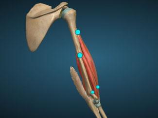 bíceps posterior