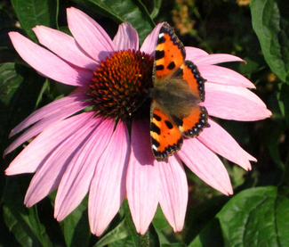 """In den Seedballs """"Rosa Flora""""  sind auch die schönen Sonnenhüte - eine Schmetterlings- und Bienenweide bei www.the-golden-rabbit.de"""