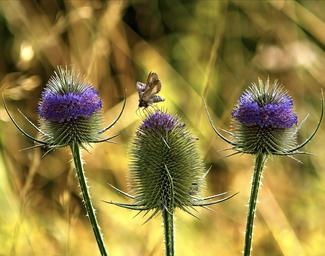 Dipsacus Fullonum / Wilde Karde -Englisches Blumensaatgut bei www.the-golden-rabbit.de