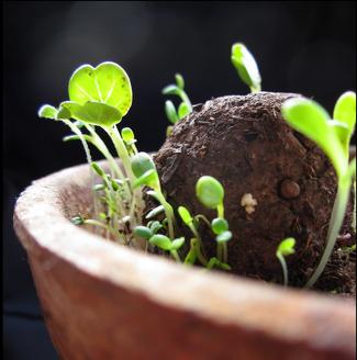 Die ersten Samen keimen aus einem Seedball. Bei www.the-golden-rabbit.de