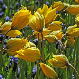 Die schönstenWildtulpen / Weinbergtulpen bei www.the-golden-rabbit.de
