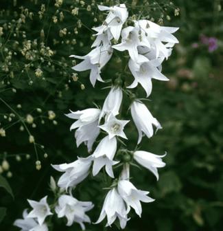 """Campanula Trachelium """"Alba"""" - Nesselblättrige Glockenblume - Die ideale Blume für feuchte Wiesen bei www.the-golden-rabbit.de"""