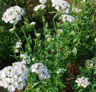 Lychnis chalcedonica - weiße Lichtnelke: Englisches Saatgut für Blumen bei www.the-golden-rabbit.de