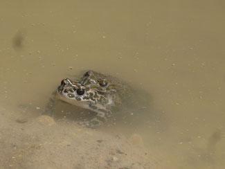 Wechselkröten