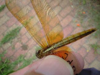 JFEトンボみちで捕らえた若いショウジョウトンボ。翅の凹凸がわかる。