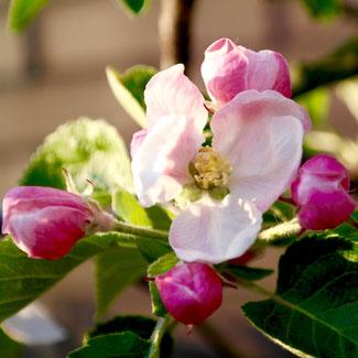 appelboom, bewaarappel, malus domestica, appels opslaan